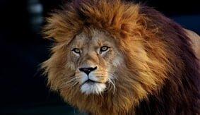 こちらを見つめるライオン